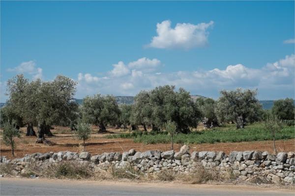 Olivos del sur de Italia
